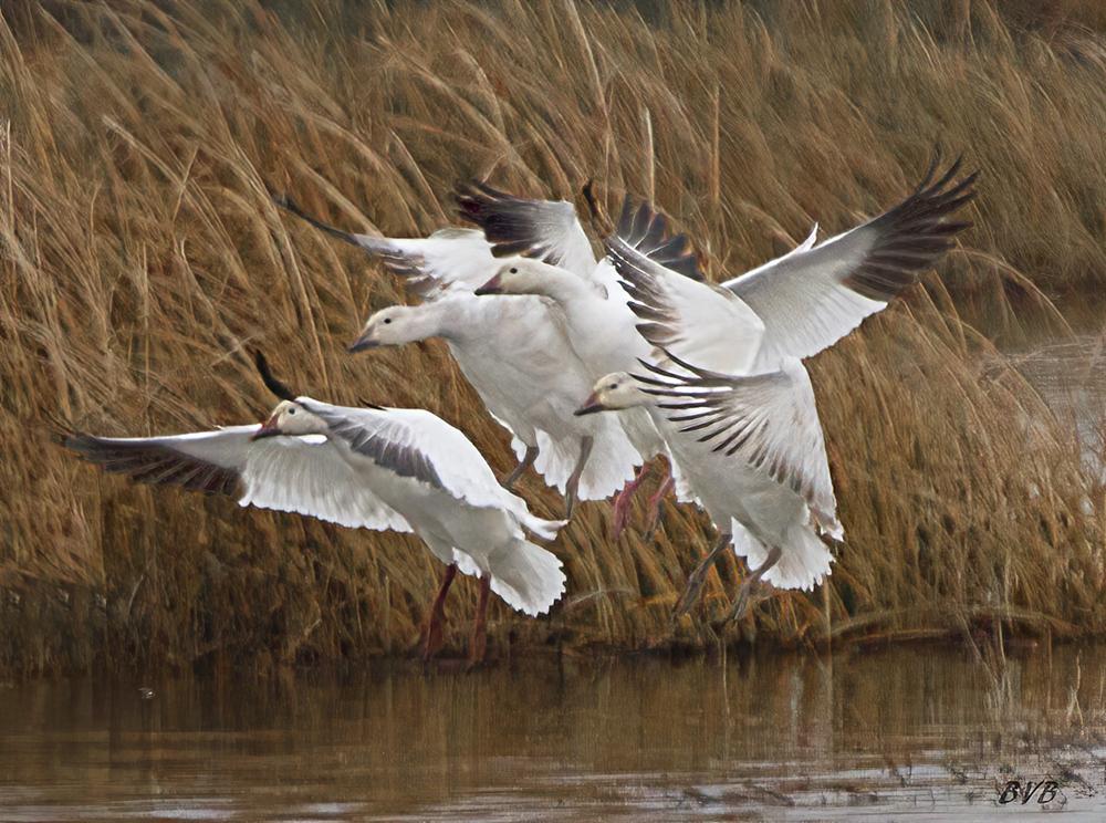 Ross's geese synchronized landing  - ID: 15883528 © Bruce E. Van-Buskirk