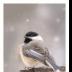 © Deborah H. Zimmerman PhotoID # 15884093: Snowy Lil Birds-Chickadee