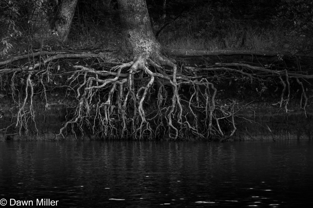tree roots, brazil - ID: 15884963 © Dawn Miller