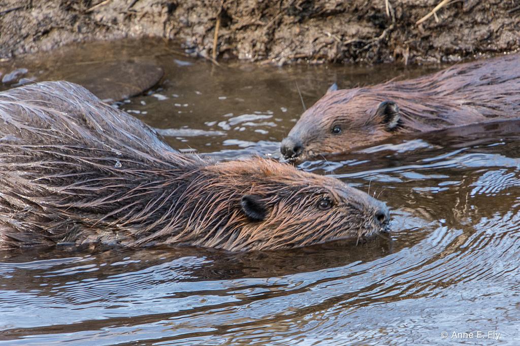 Beavers - ID: 15885107 © Anne E. Ely