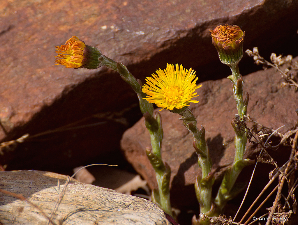 Coltsfoot - ID: 15885114 © Anne E. Ely