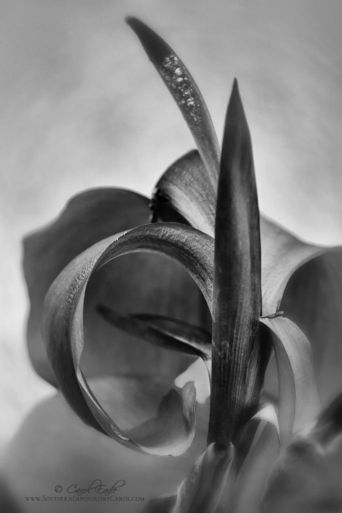 Canna Lily - ID: 15886515 © Carol Eade