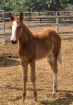 The Golden Filly
