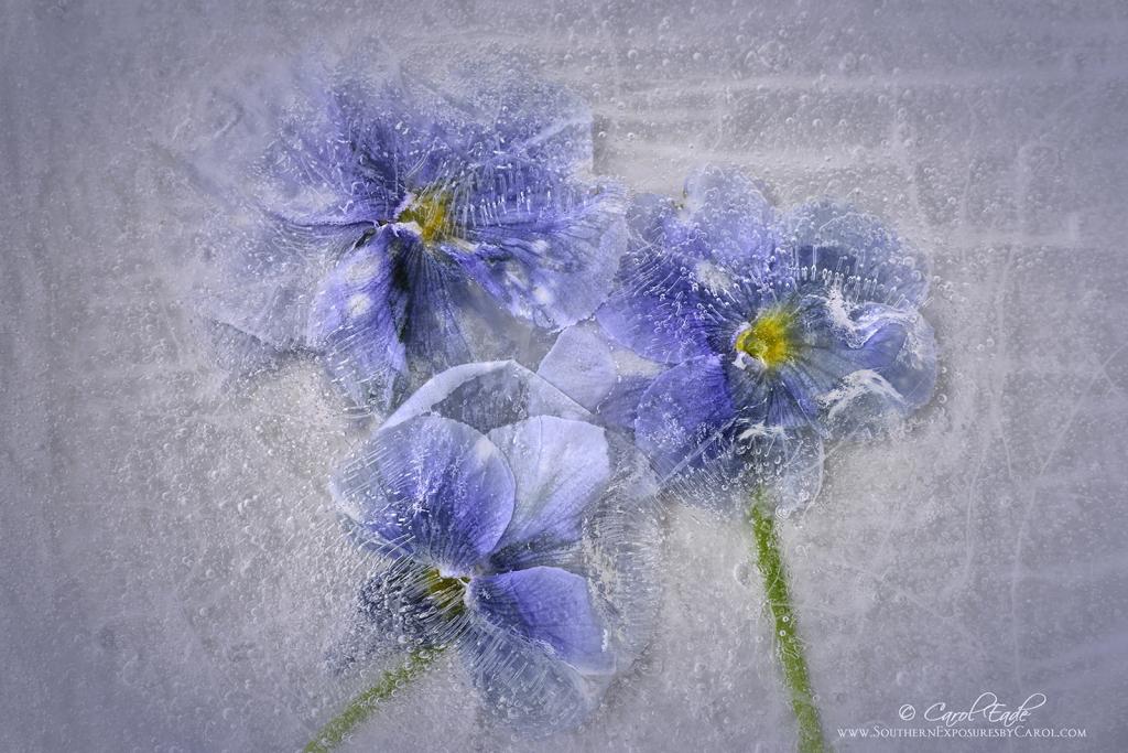 Pansies  in Ice - ID: 15889679 © Carol Eade