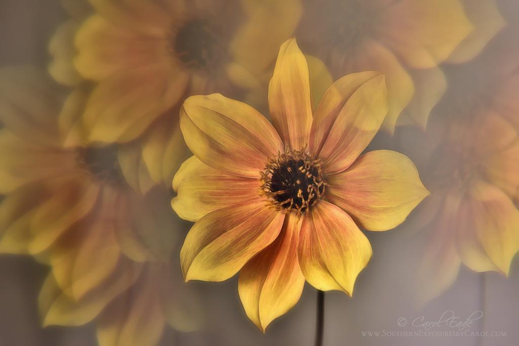Dahlia Mystic Spirit - ID: 15889957 © Carol Eade