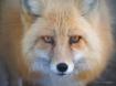 Foxy Stare