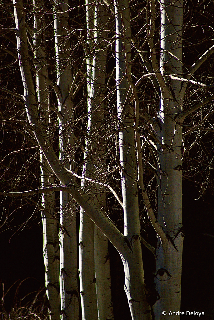 Aspens in Silhouettes