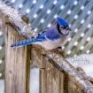 Beautiful Blue Ja...