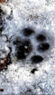 Pawprint After th...