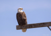 Bald Eagle in the...