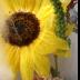 © Krista Cheney PhotoID# 15893438: Sunflower and zinnia in ice