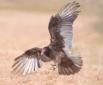 Turkey Vulture St...