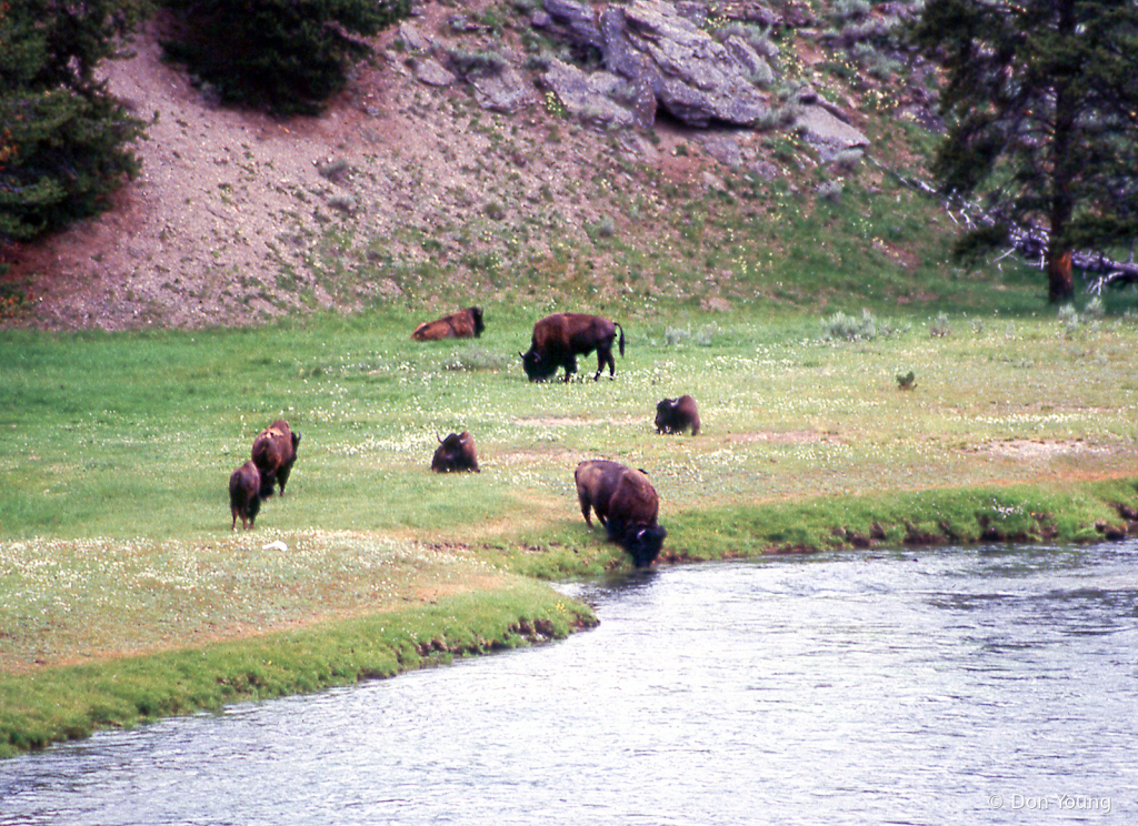 Yellowstone Bison - ID: 15900284 © Don Young
