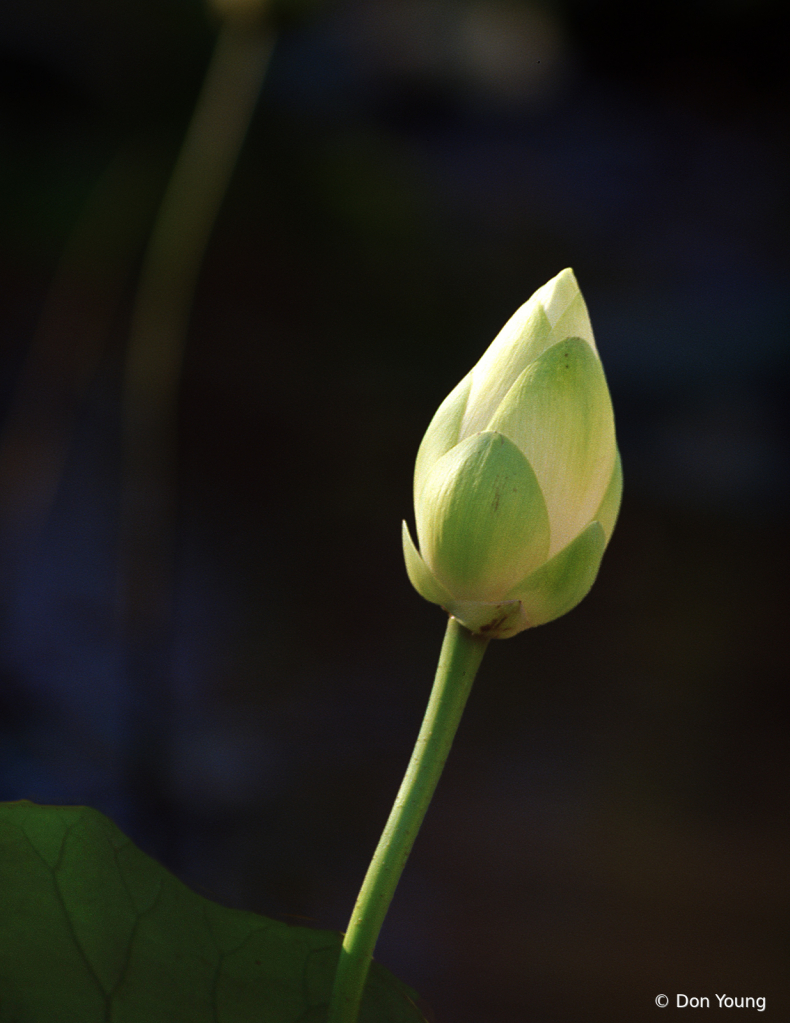 Lotus Bloom - ID: 15900291 © Don Young