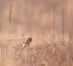 The Meadowlark in...