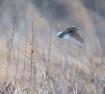 The Shy Meadowlar...