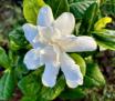 Gardenia Imperial...