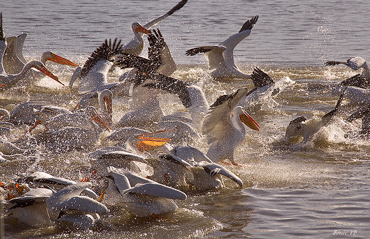 Fishing all at once in a mass frenzy - ID: 15900602 © Bruce E. Van-Buskirk