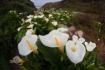 Calla lily valley...