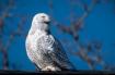 Lost Snowy Owl