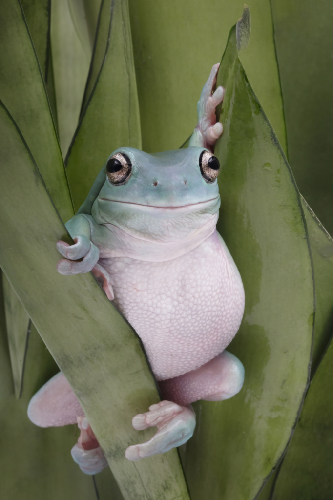 The Pose of the Whites Tree Frog