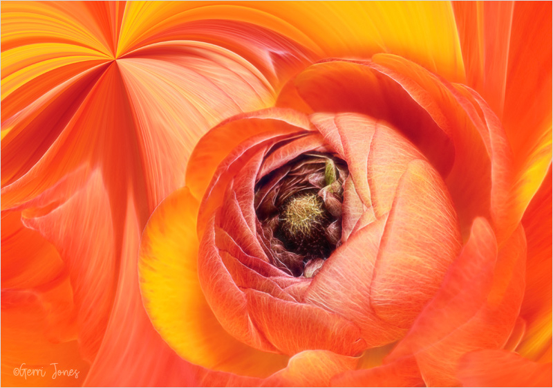 Ranunculus Swirls