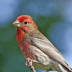© Janet Criswell PhotoID# 15910200: House Finch