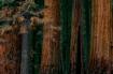 Trees...Sequoia