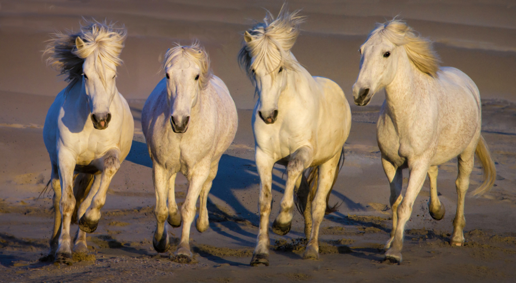 White Stallions of Camargue