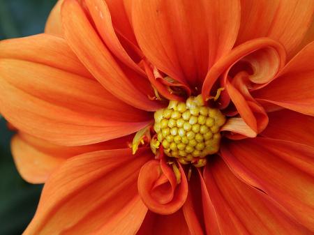 Orange dahlia close up