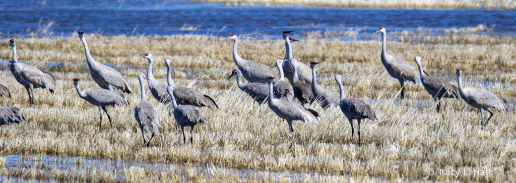 Sandhill Cranes  - ID: 15911502 © Tracy L. Hart
