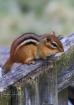 Tiny Chipmunk