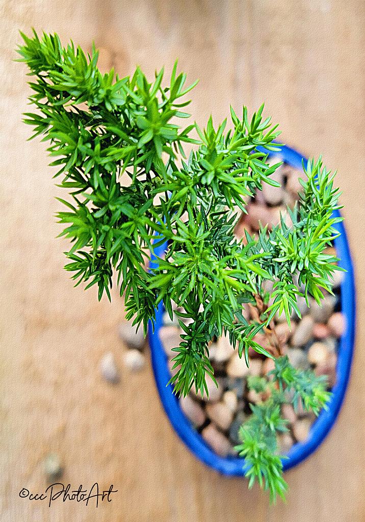Bonsai in Blue