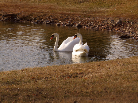 Swans Being Nice (They Usually Aren