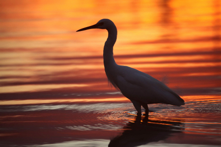 Egret at Jimmy Carter