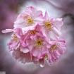 Sakura (Cherry Bl...