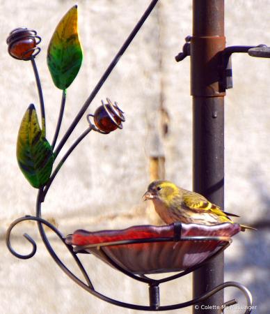 Finch 21