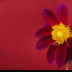 2Dahlia Red Disco Dancer - ID: 15915212 © Carol Eade