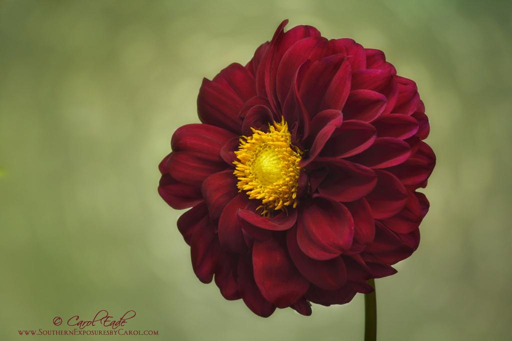 Dazzling Dahlia - ID: 15915213 © Carol Eade