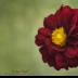 2Dazzling Dahlia - ID: 15915213 © Carol Eade