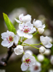 Pear Tree Bloom