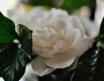 Gardenia, Exquisi...