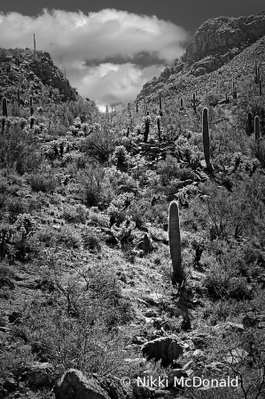 Saguaro National Park, BW Vertical