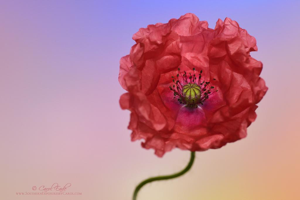 Coral Papaver - ID: 15916157 © Carol Eade