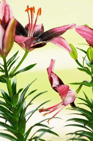 graceful Asian daylilies......