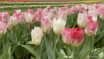 Pink tulips in th...