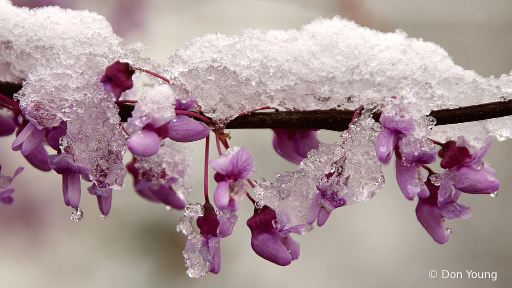 Frozen Redbud - ID: 15917043 © Don Young