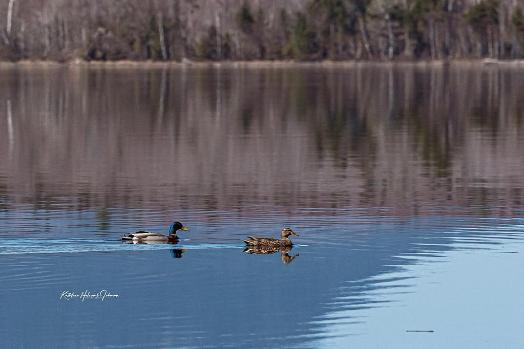 Duck Love! - ID: 15917055 © Kathleen Holcomb Johnson
