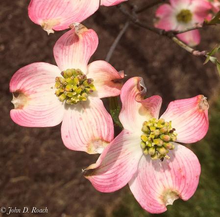 Dogwood Blossoms-2