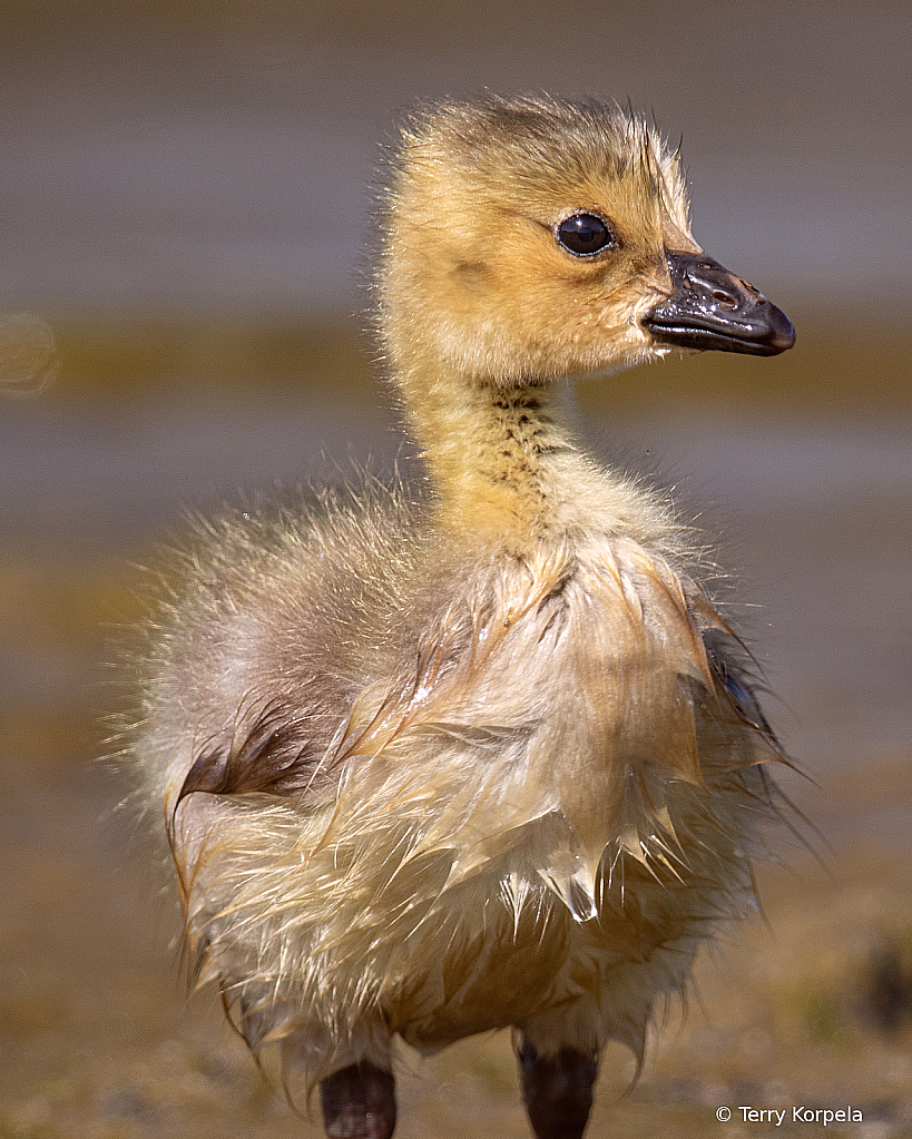 2 Day Old Gosling - ID: 15917590 © Terry Korpela